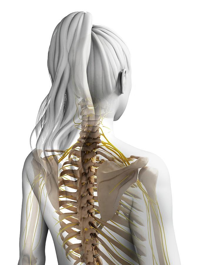 Artwork Photograph - Female Nervous System by Sebastian Kaulitzki