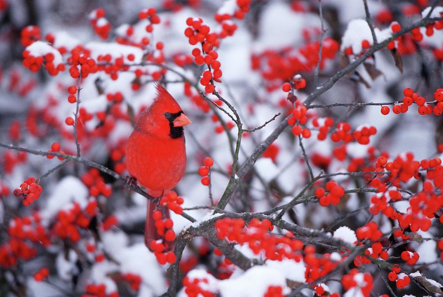 Avian Photograph - Northern Cardinal (cardinalis Cardinalis by Richard and Susan Day