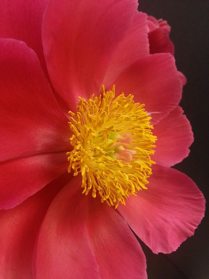 Peony Photograph - 2nd Peony by Heather L Wright