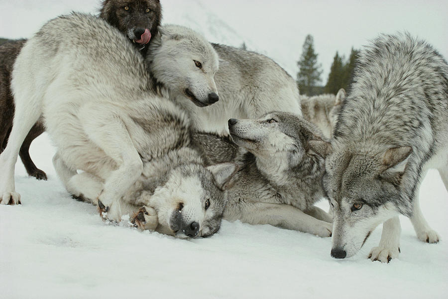 A Pack Of Gray Wolves Canis Lupus Photograph By Jim And