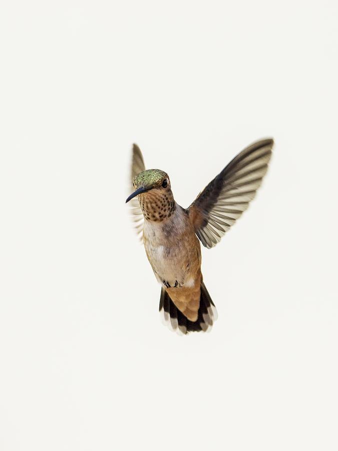 Allen's Hummingbird Photograph - Allens Hummingbird by Mike Herdering