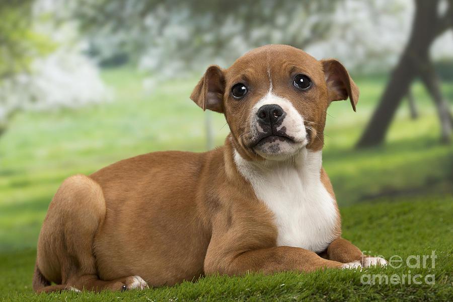 American Staffordshire Terrier Puppy by Jean-Michel Labat