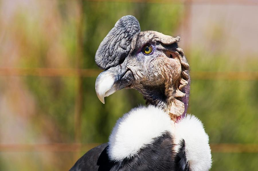 Andean Condor Photograph - Andean Condor by Philippe Psaila/science Photo Library