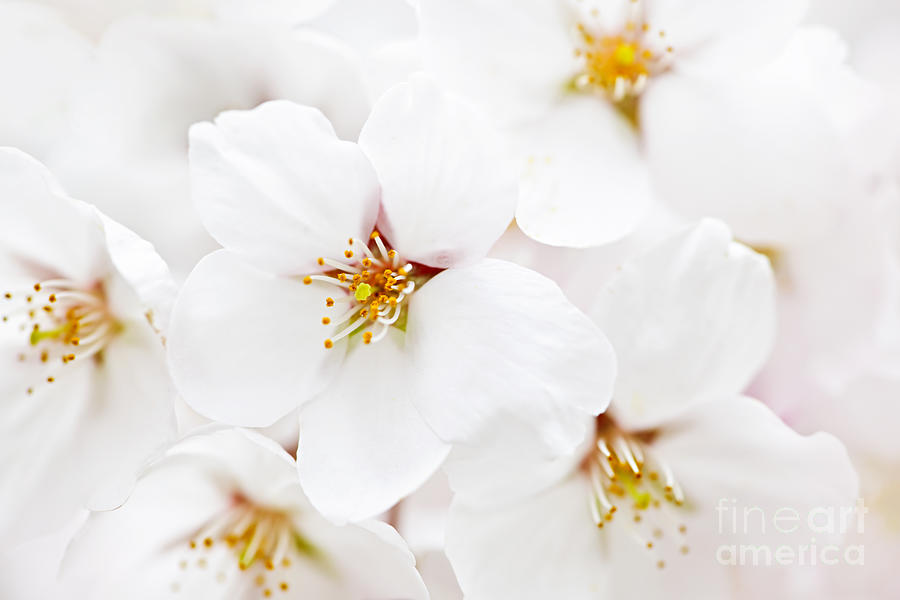 Apple Photograph - Apple Blossoms by Elena Elisseeva