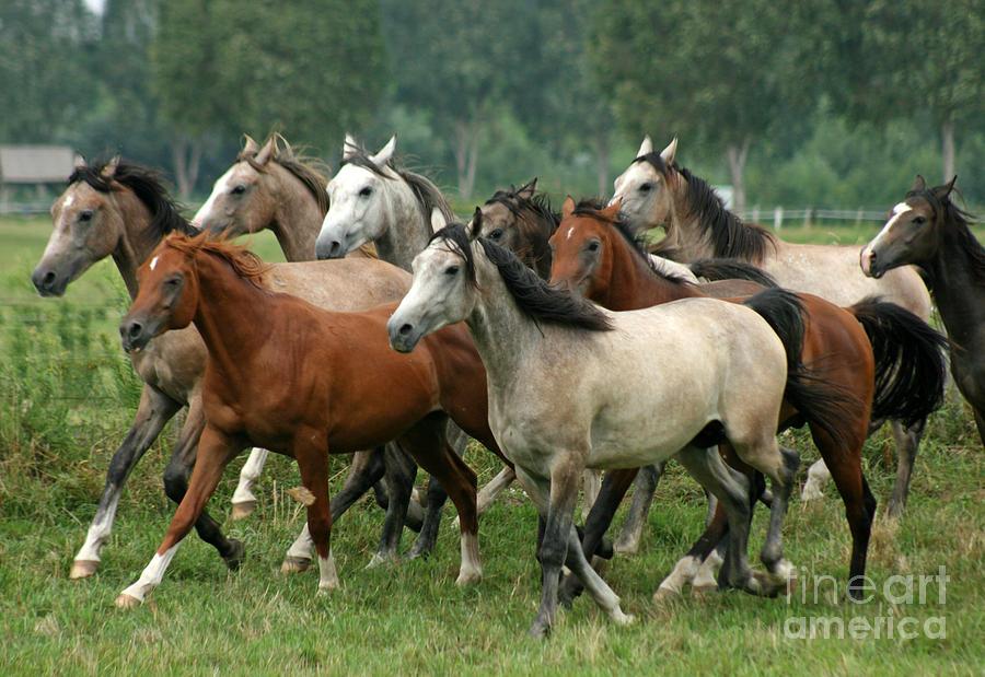 Horse Photograph - Arabian Horses by Angel  Tarantella