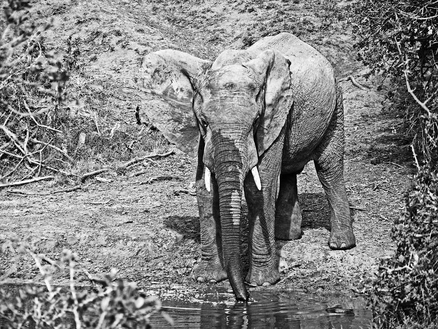 Elephant Bull Photograph - At The Waterhole by Douglas Barnard
