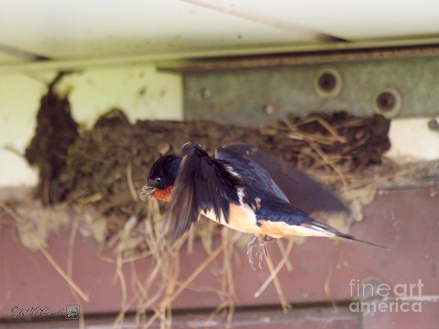 Jem Fine Arts Photograph - Barn Swallows Constructing Their Nest by J McCombie
