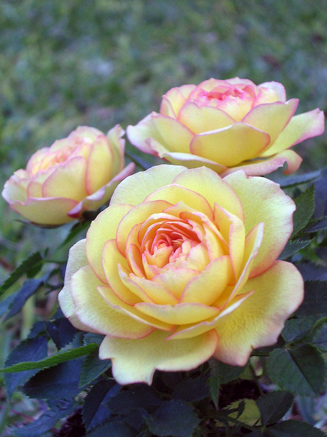 Rose Photograph - 3 Beautiful Yellow Roses by Jo Ann