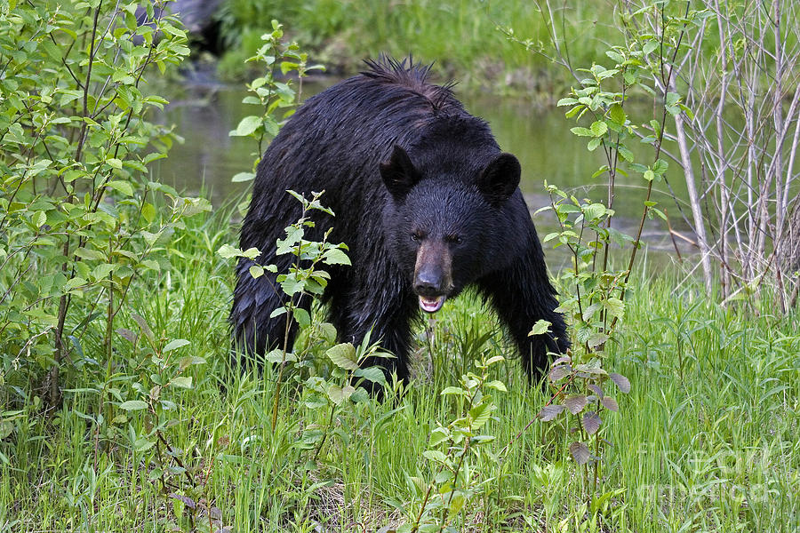 Black Bear Photograph - Black Bear by Linda Freshwaters Arndt