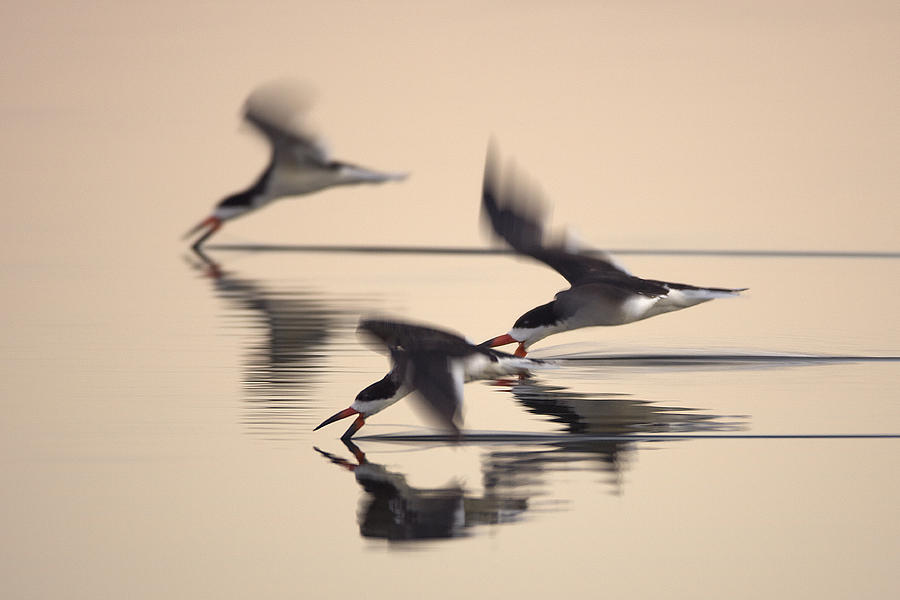 Orias Photograph - 3 Black Skimmers  382Z3059 by David Orias