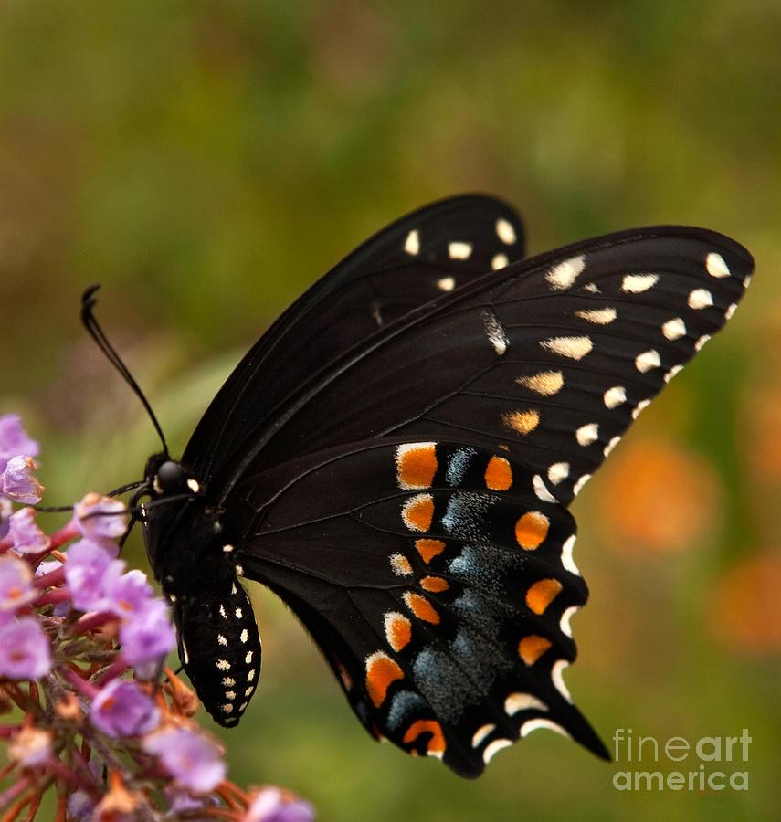 Food Photograph - Black Swallowtail Butterfly by Iris Richardson