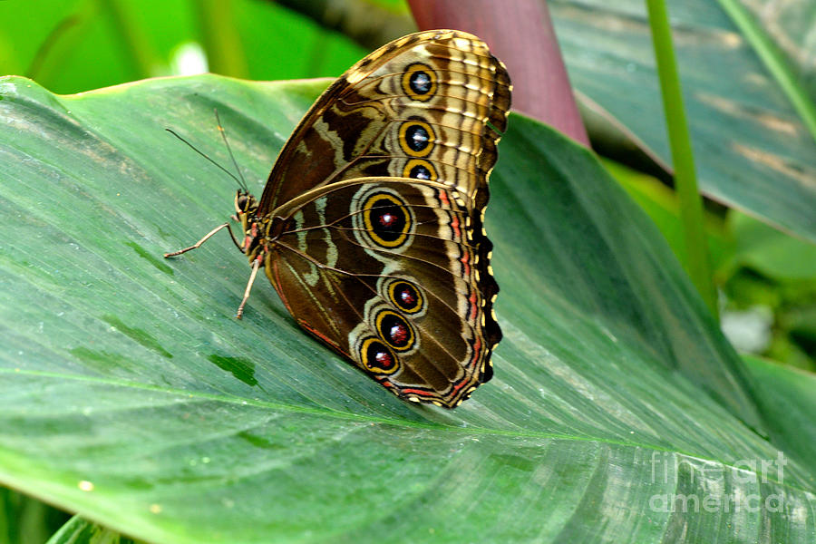 Butterfly Photograph - Blue Clipper by Luminita Suse