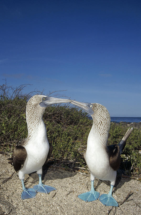 Blue-footed Boobies Courting Galapagos Photograph by Tui De Roy