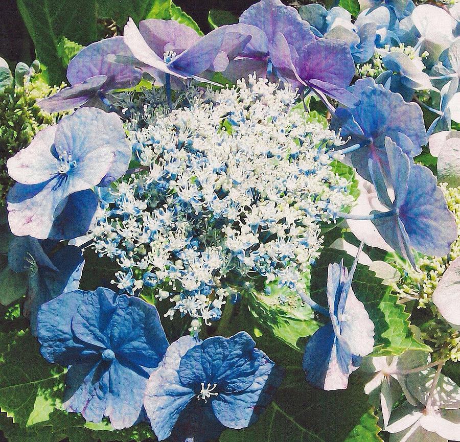 Still Life Photograph - Blue Hydrangea by Shan Ungar