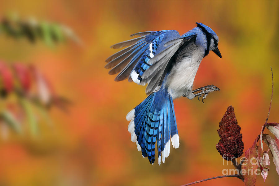 Blue Jay Photograph - Blue Jay by Scott Linstead