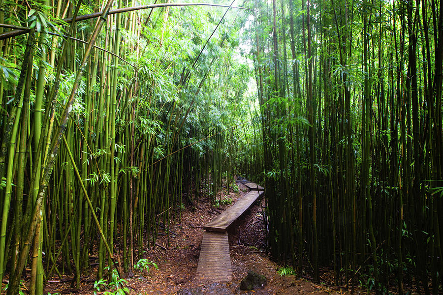 Horizontal Photograph - Boardwalk Passing Through Bamboo Trees by Panoramic Images
