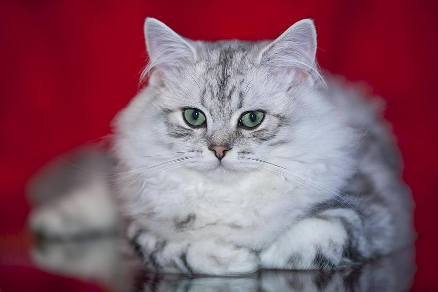 Felidae Photograph - British Longhair Kitten by Melanie Viola