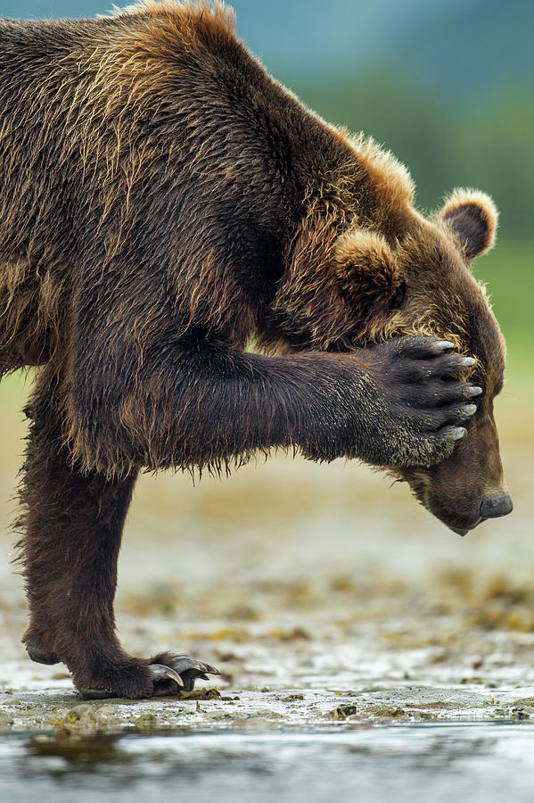 Brown Bear, Katmai National Park, Alaska Photograph by Paul Souders