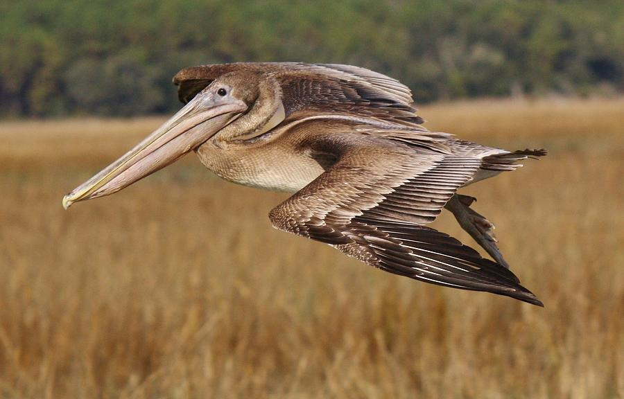 Pelican Photograph - Brown Pelican by Paulette Thomas