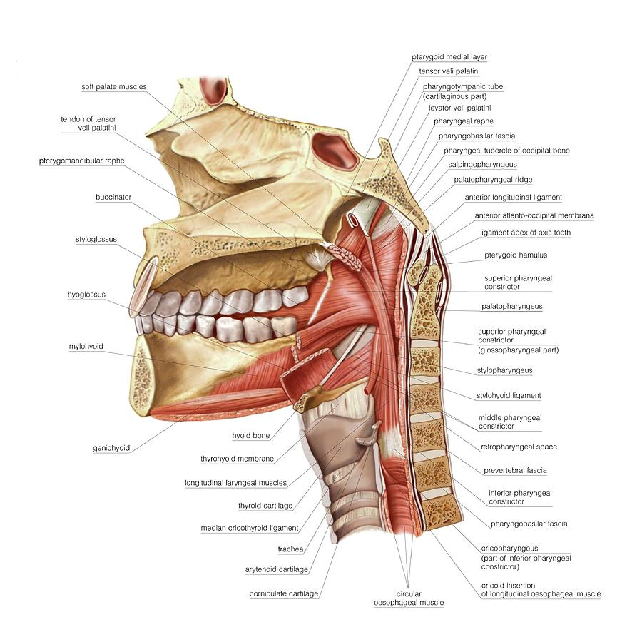 Buccopharyngeal Region Muscles Photograph By Asklepios Medical Atlas