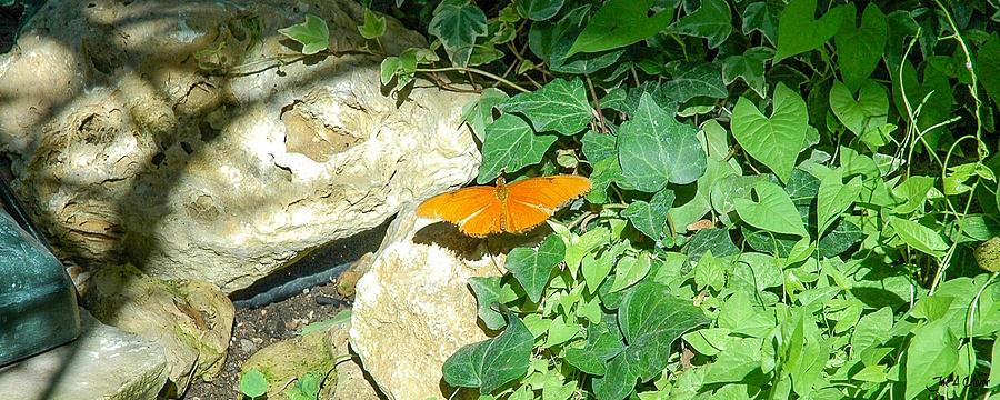 Butterflies Photograph - Butterflies by Joe Oliver