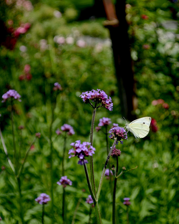 Butterfly In The Garden Photograph