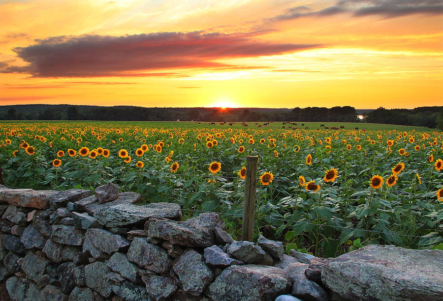 Sunflowers Photograph - Buttonwood Farm by Andrea Galiffi