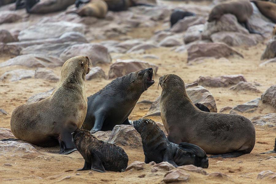 Horizontal Photograph - Cape Fur Seals Arctocephalus Pusillus by Animal Images