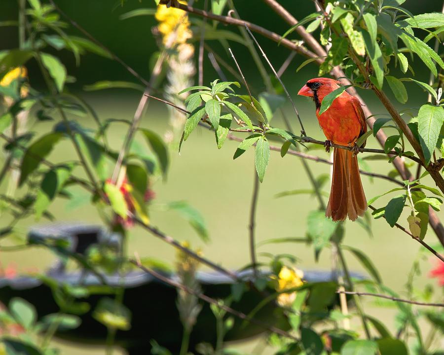 Cardinal Photograph - Cardinal by Bill Wakeley