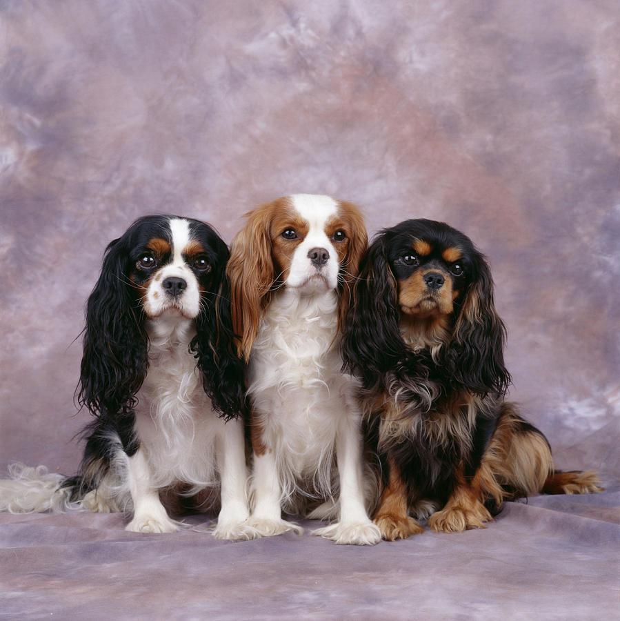 Dog Photograph - Cavalier King Charles Spaniels by John Daniels