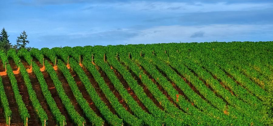Chardonnay Sky 17990 Photograph
