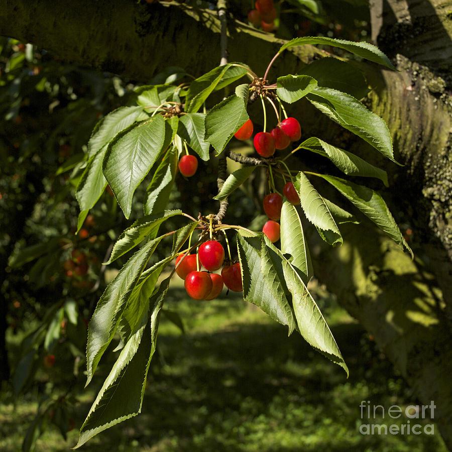 Freshness Photograph - Cherry Tree by Bernard Jaubert