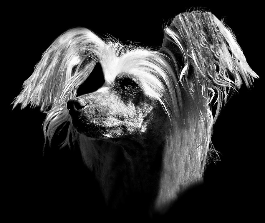 Dog Photograph - Chinese Crested Hairless by Diana Angstadt