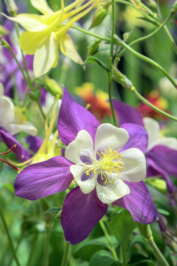 Columbine Flowers Usa Photograph By Lisa S Engelbrecht