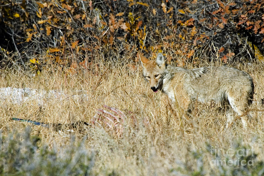 Coyotes Photograph