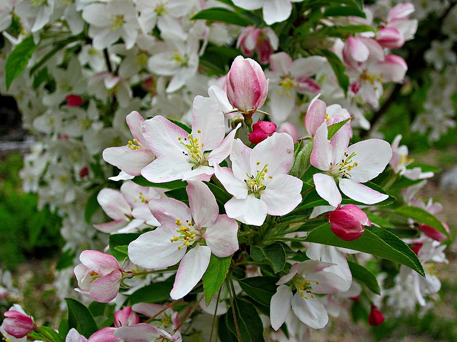 Crabapple Blossoms Photograph - Crabapple Blossoms by MTBobbins Photography