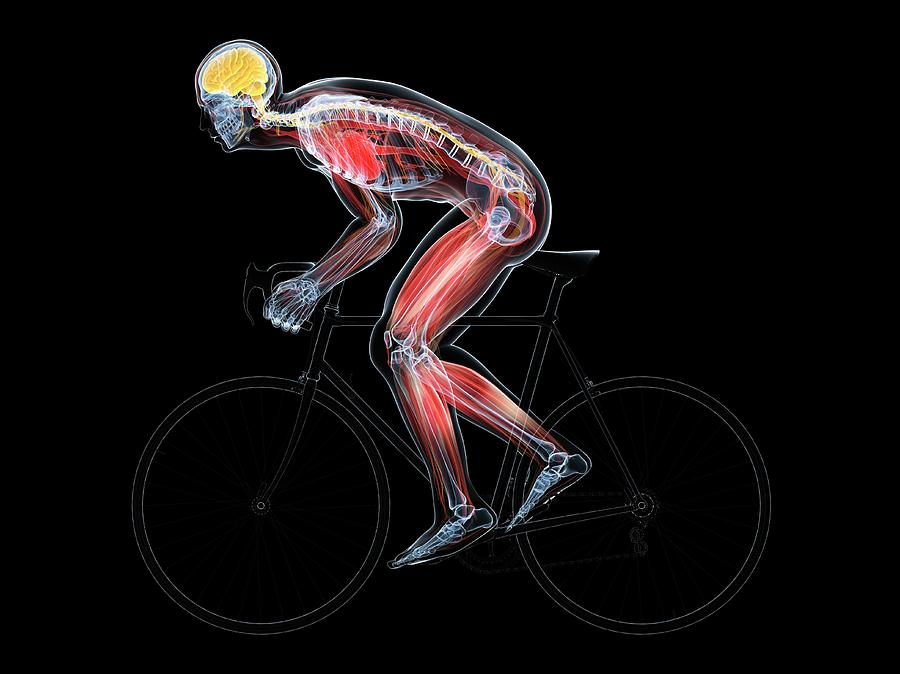 Central Nervous System Photograph - Cyclist by Sciepro/science Photo Library