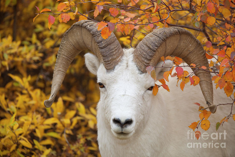 Dalls Sheep Ram in Denali Photograph by Yva Momatiuk John Eastcott