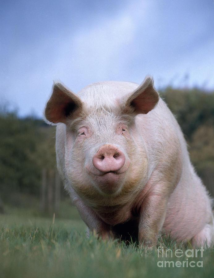 Pig Photograph - Domestic Pig by Hans Reinhard