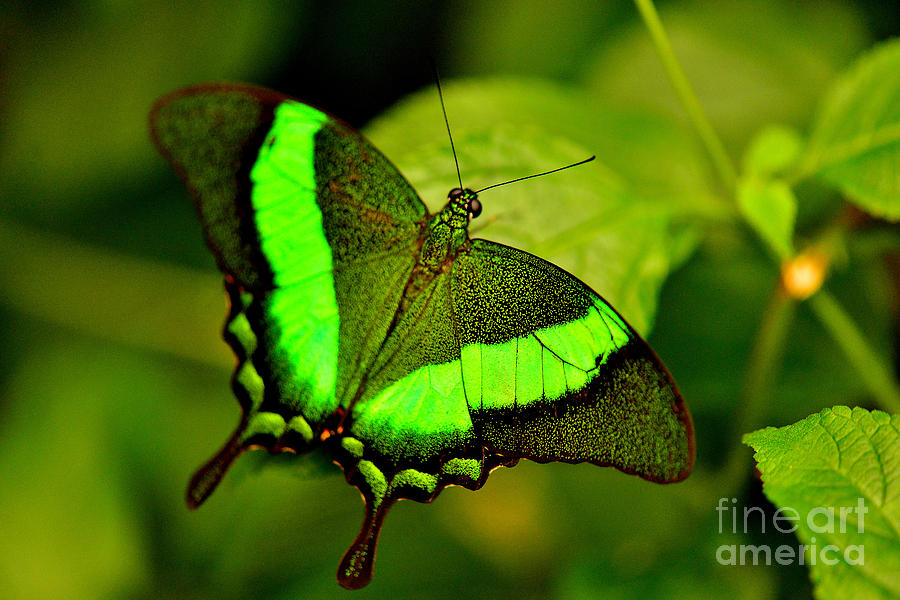 Emerald Swallowtail Photograph - Emerald Swallowtail by Luminita Suse