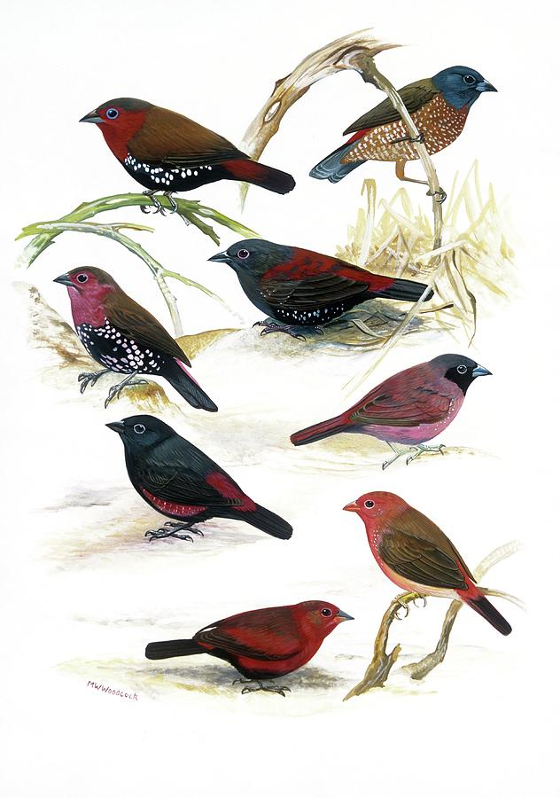Illustration Photograph - Estrildid Finches by Natural History Museum, London/science Photo Library