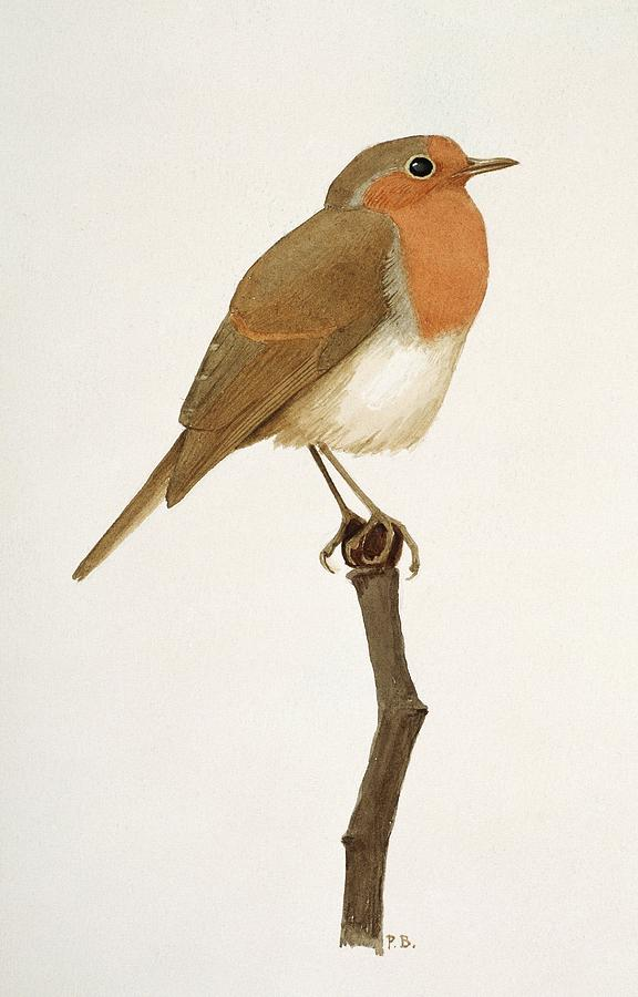Artwork Photograph - European Robin by Natural History Museum, London/science Photo Library