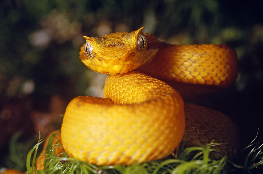Eyelash Viper Photograph By Steve Cooper