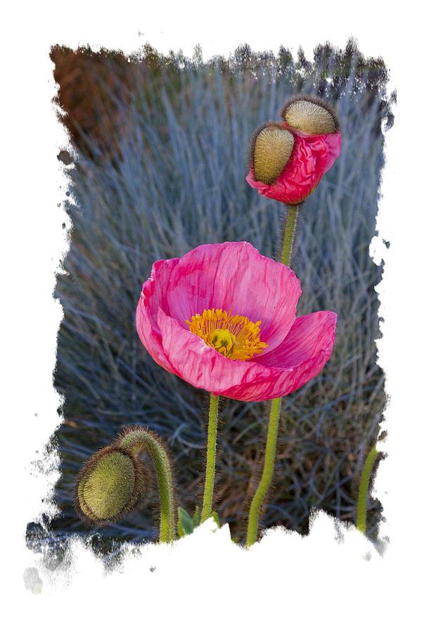 3 faces of Poppy by Judy Deist