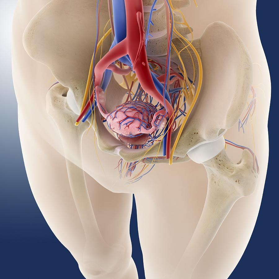 Female Pelvic Anatomy, Artwork Photograph by Science Photo Library