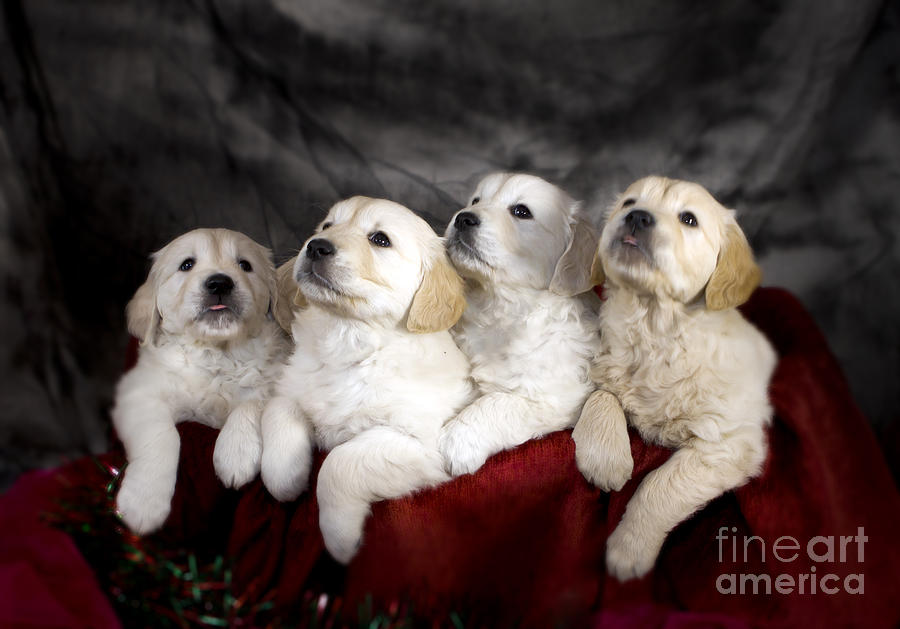 Dog Photograph - Festive Puppies by Angel Ciesniarska