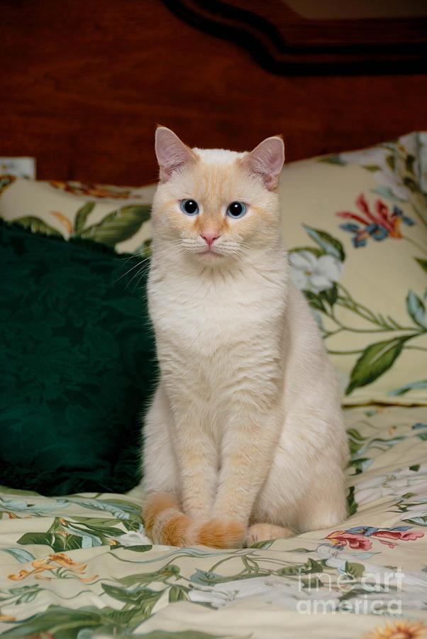 Mix White Siamese Blue Eyes Cat