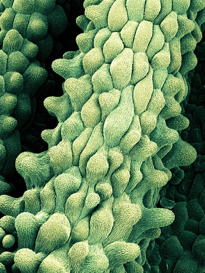 Flower Photograph - Flower Pistils, Sem by Science Photo Library