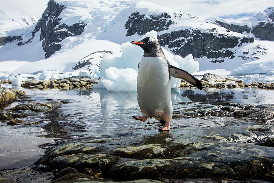 Gentoo Penguin, Cuverville Island Photograph by Paul Souders