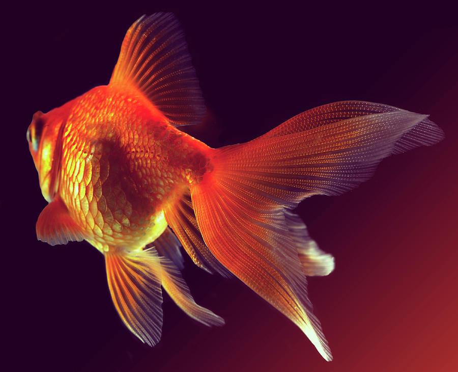 Goldfish Photograph by Mark Mawson